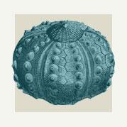 Sea Urchin Wall Decor & Accents
