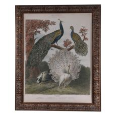 Peacock Gathering Framed Print