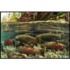 Coho Salmon #2