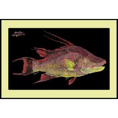 Hogfish Mat With Border Floor Mat