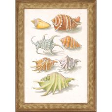 Conch Shell Illustre Framed Art