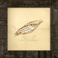 Junonia Shell Framed Art