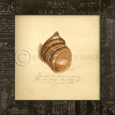 Common Shell Framed Art