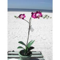 Phalaenopsis -Silk Orchid